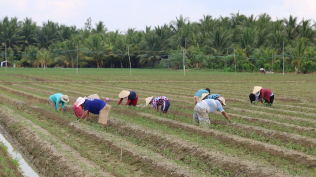 Farmers working on the hot chilly field in Mekong