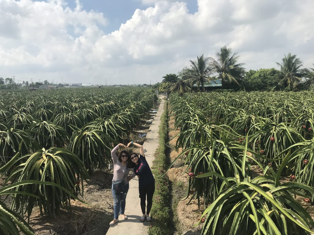 A stop to a dragon fruit farm on the way to Mekong
